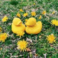 Oli&Carol sárga kacsa kaucsukgumi rágóka
